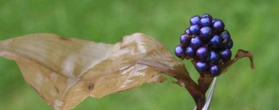LObjet-Vivant-le-Plus-Brillant-au-Monde-Les-Fruits-de-Pollia-Condensata-3