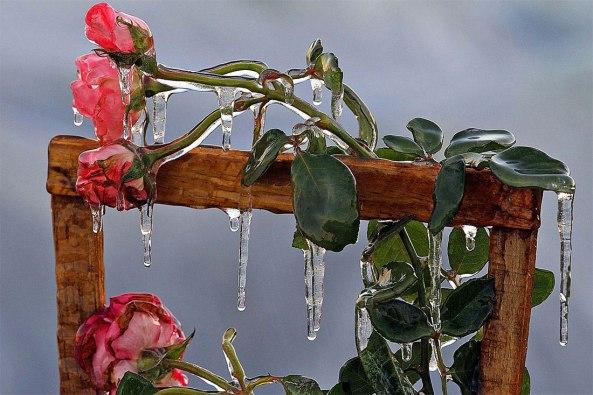 Roses Glaçées