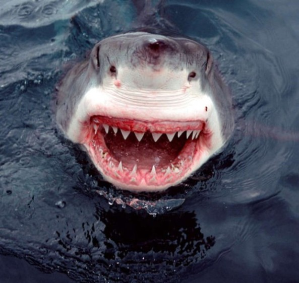 Le Sourire du Grand Requin Blanc